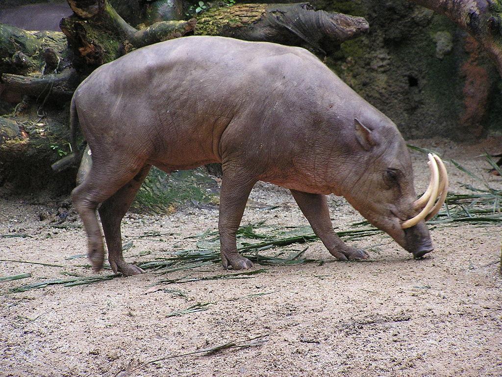 North Sulawesi babirusa (Babyrousa celebensis)