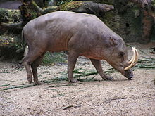A deer-pig with elongated lower canines that curve up, forming elephant-like tusks.