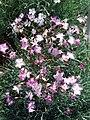 Hohenheim - Dianthus plumarius 01.jpg