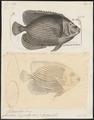 Holacanthus imperator - 1700-1880 - Print - Iconographia Zoologica - Special Collections University of Amsterdam - UBA01 IZ13100237.tif
