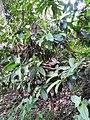 Holigarna arnottiana-2-kottoor-kerala-India.jpg