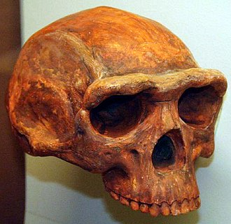 Middle Stone Age - Homo erectus skull, Museum of Natural History, Ann Arbor