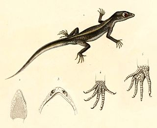 Chilean marked gecko species of reptile