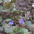 Hondsdraf plant met bloemen (Glechoma hederacea).jpg