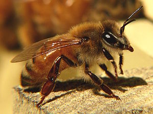 Italian bee - Image: Honeybee 27527 1