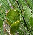 Hooded Grasshopper (Teratodus monticollis) W IMG 0525.jpg