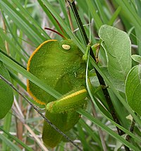 A green hooded grasshopper in green grass.
