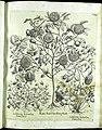 Hortus Eystettensis, Vorzeichnungen (MS 2370 2952586) -Verna,6,1.jpg