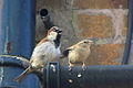 House Sparrows mating 1.jpg