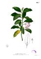 Hoya carnosa Blanco2.402b.png