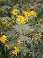 Hugueninia tanacetifolia ssp suffruticosa 001.JPG