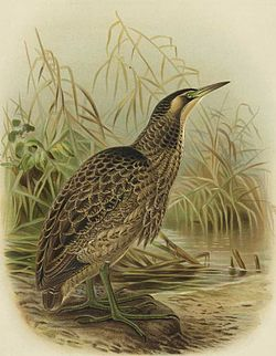 Aŭstralazia botaŭro, de J. G. Keulemans en verko de Buller, A History of the Birds of New Zealand