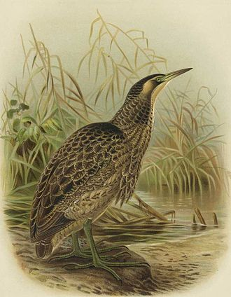 Australasian bittern - By J. G. Keulemans in Buller's A History of the Birds of New Zealand