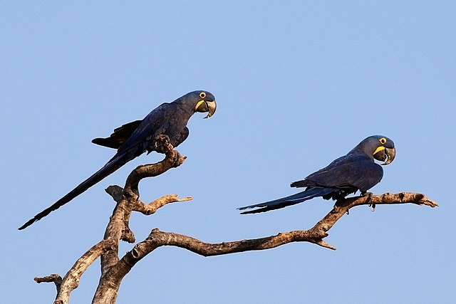 https://upload.wikimedia.org/wikipedia/commons/thumb/c/cd/Hyacinth_macaws_%28Anodorhynchus_hyacinthinus%29.JPG/640px-Hyacinth_macaws_%28Anodorhynchus_hyacinthinus%29.JPG?uselang=cs