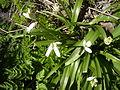 Hyacinthoides non-scripta - plant.jpg
