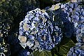 Hydrangea macrophylla Mathilda Gutges 4zz.jpg