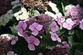 Hydrangea macrophylla Tokyo Delight 8zz.jpg