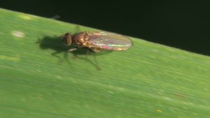 File:Hydrellia sp - 2012-10-23.webm
