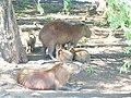 Hydrochoerus hydrochaeris, Capybara o Carpincho varios. En Corrientes, Argentina 3.JPG