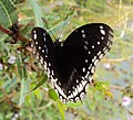 Hypolimnas bolina - Great Eggfly at Thillankeri 21.JPG