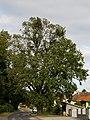 ID OP046 Stieleiche Oberloisdorf 002.jpg