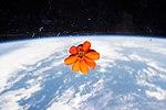 ISS-46 Zinnia flower in the Cupola (3).jpg