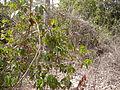 Icacina senegalensis 0002.jpg