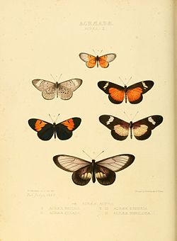 Illustrations of new species of exotic butterflies Acræa II.jpg