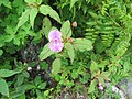 Impatiens sulcata - Gigantic Himalayan Balsam on way from Gangria to Valley of Flowers National Park - during LGFC - VOF 2019 (13).jpg