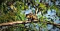 Indian Palm Squirrel - He's a Star in Hindu Lore.jpg