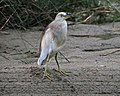 Indian Pond-heron (Ardeola grayii) (21637803455).jpg