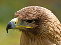 Indian Tawny Eagle 2 (6797974962).jpg