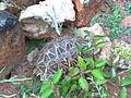 Indian star tortoise 3.jpg