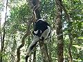 Indri indri 002.jpg