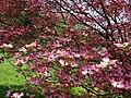 Inside-the-pink-dogwood - West Virginia - ForestWander.jpg
