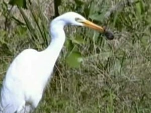 File:Intermediate Egret day95.ogv