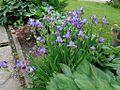Iris germanica 01.JPG