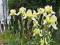 Iris germanicus.JPG