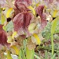 Iris paradoxa-IMG 2205.jpg