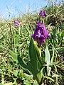 Iris pumila sl20.jpg