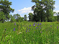 Iris sibirica Muromets1.JPG