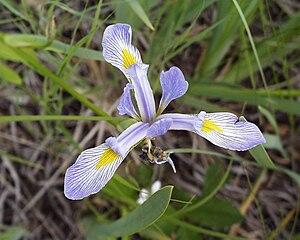Edgar Anderson - Iris versicolor