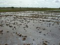 Irrigated rice cultivation in the Senegal River Valley - panoramio (62).jpg