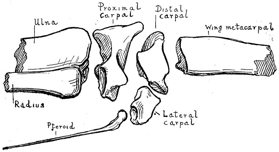 Istiodactylus wrist