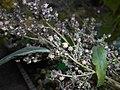 Iva xanthiifolia 2017-09-26 4741.jpg