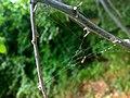 JNU Spider Web on Tree.jpg