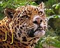 J de jaguar.jpg