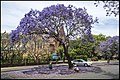 Jacaranda in Grafton too early-2 (30390464982).jpg