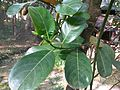 Jackfruit tree leaves 06.jpg