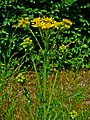 Jacobaea vulgaris 003.JPG